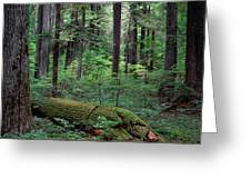 Old Growth Forest Greeting Card