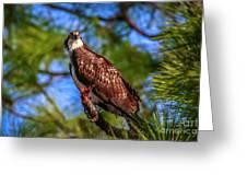 Osprey Lookin' At Ya Greeting Card by Tom Claud