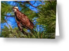 Osprey On Limb Greeting Card by Tom Claud