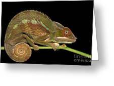 Panther Chameleon Furcifer Pardalis In Greeting Card