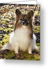 Papillon Sitting In Leaves Greeting Card