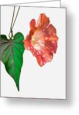 Peach Morning Glory Greeting Card