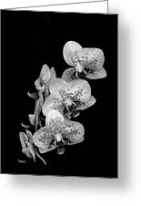 Phalaenopsis Orchids Black And White Greeting Card