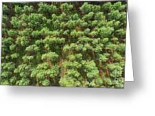 Pine Rows Aerial 2x1 Greeting Card
