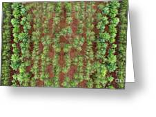 Pine Rows Aerial Greeting Card