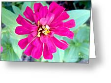 Pink Zinnia With Spider Greeting Card