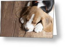 Portrait Of Young Beagle Dog Lying On Greeting Card