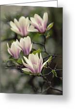Pretty White And Pink Magnolia Greeting Card