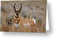 Pronghorn In The Sage Greeting Card