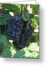 Purple Grape Bunches 13 Greeting Card