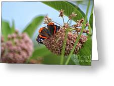 Red Admiral Butterfly On Milkweed Greeting Card