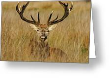 Red Deer Portrait 2 Greeting Card
