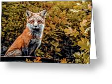 Red Fox In Fall Colors Greeting Card