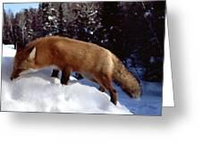 Red Fox Ontario Canada Greeting Card by Rick Veldman