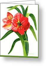 Red-orange Amaryllis Greeting Card