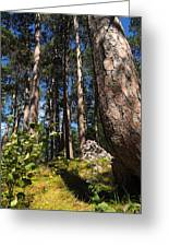 Red Pine Itasca Greeting Card