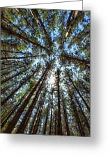 Red Pines 1 Greeting Card