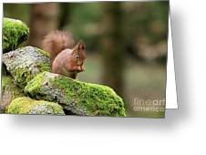 Red Squirrel Sciurus Vulgaris Eating A Seed On A Stone Wall Greeting Card