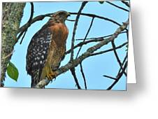 Red Shouldered Hawk Panorama Greeting Card