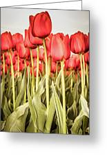 Red Tulip Field In Portrait Format. Greeting Card