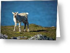 Reindeer Grazing In Spitzbergen Greeting Card