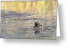Ring Necked Duck Greeting Card by Michael Chatt