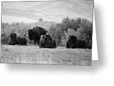Rocky Mountain Bison Greeting Card
