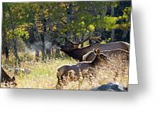 Rocky Mountain Bull Elk Bugeling Greeting Card by Nathan Bush