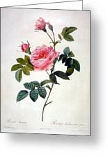 Rosa Inermis Greeting Card