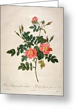 Rosa Rubiginosa Greeting Card