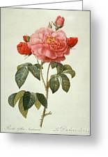 Rose La Duchesse Dorleans Greeting Card