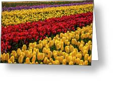 Row After Row After Row Of Tulips Greeting Card