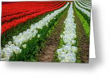 Rows Of White And Red Tulips Greeting Card