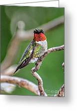 Ruby-throated Hummingbird In All His Glory Greeting Card