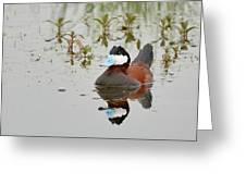 Ruddy Duck, Plumas County California Greeting Card