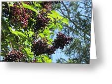 Sambucus Elderberry Sureau Greeting Card