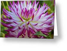 Semicactus Dahlia Greeting Card