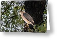 Shikra In The Wild Greeting Card