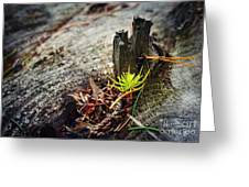 Small Spruce Growing On An Old Tree Stump Greeting Card