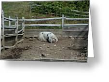 Snoozing Hog Greeting Card