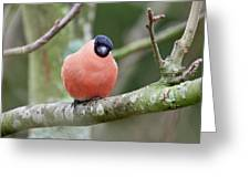 So. Bullfinch Greeting Card
