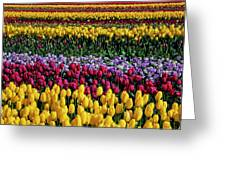 Spectacular Rows Of Colorful Tulips Greeting Card