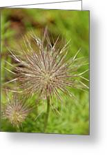 Spiky Plant Pulsatila Halleri Greeting Card