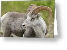 Stone's Sheep Ram Greeting Card