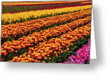 Stunning Rows Of Colorful Tulips Greeting Card