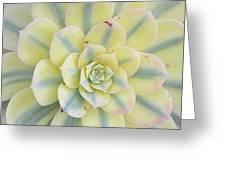 Succulent Aeonium Sunburst Greeting Card