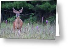 Summer Young Buck 1 Greeting Card