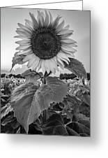 Sunflowers 10 Greeting Card