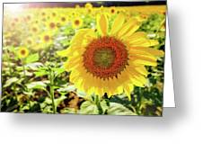 Sunflowers Greeting Card by Robert Bellomy