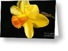 Sunny Yellows Of A Spring Daffodil  Greeting Card